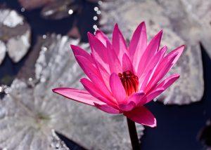 lotus-bloom